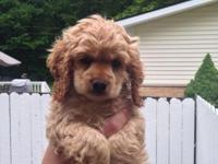 AKC Registered cocker spaniel puppies - 2 females