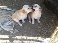 PUREBRED GOLDEN RETRIEVERS PUPPIES 2 MALES BORN MAY 1,