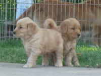 GOLDEN RETRIEVER PUPPIES FOR SALE IN OHIO We have two