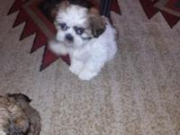 2 male Shih Tzu puppies born 11/30/2014 that make them