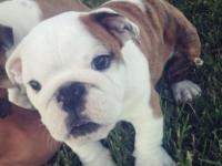 Hi! I have two pure-bred English Bulldogs ready for