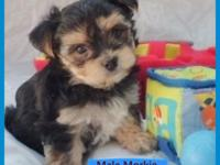 "These doll faced Morkies, ""Jackson"" ($400) and his"