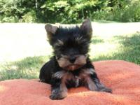 Hi I have two adorable male AKC Yorkie puppies. They