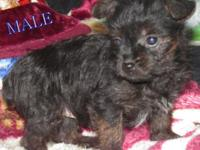 We have 2 Yorkie-Poo puppies that are 8 weeks aged. 1