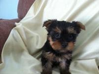 I have two lovable female Yorkiepoos, they are 8 weeks