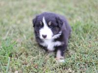AKC Australian Shepherd Puppies for sale. We are
