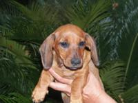 5 AKC REG DACHSHUND PUPPY's Mom IS CHAMPION SIRED RED