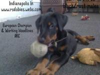 2 black/rust male AKC Doberman Pinscher puppies born