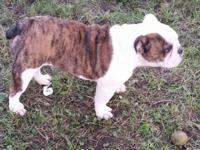 We have 2 AKC English Bulldog females full sisters 5