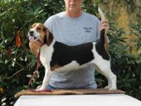 2 AKC Tri-Color Female Beagle pups. Ready for Gun
