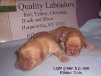 AKC YELLOW - FOX RED LABs for Sale in Sandy Creek, New York
