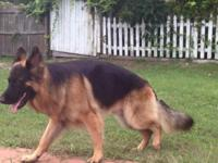 I have 2 female Full AKC German Shepherd Showlines born