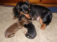 Two beautiful male mini smooth Dachshund puppies