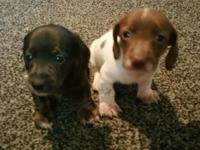 Akc Mini Dachshund Male Puppies .. Ready to go Oct
