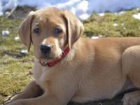 We currently have AKC Fox-Red Labrador Retriever