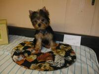 Adorable little AKC Yorkies! Exellant bloodlines with