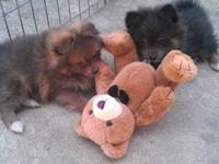 2 Purebred Pomeranians Puppies: Female and Male,
