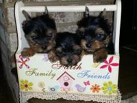 Hello, we have 2 AKC registerable purebred male yorkie