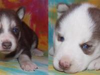 Akc Dark Red White Female Siberian Husky Blue Eyes For Sale In