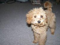 2 AKC SMALL MALE TOY POODLE PUPPIES ? DOB= SEPT 17,