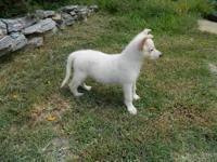 Pure white AKC reg german shepherd pups. 9 weeks old.
