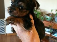 I have a litter of 4 yorkie puppies 2 boys and 2 girls.