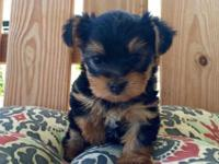 Teacup Yorkie Puppies For Rehome .One Male and female