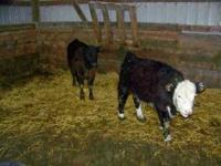 I have 1 heifer calf, all black weighs around 450, I