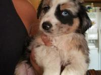 Here are two Month old Australian shepherds for sale