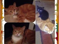 2 cats left, Herman and Ashley 1 to 2 years old they