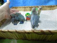 I have 2 baby lovebirds looking for loving homes. They
