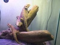 Two bearded dragons for sale with large aquarium and