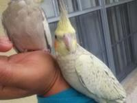 I have two beautiful baby cockatiel for sale I asking