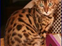 Jasmine is a 10 year old female Bengal. She has a very