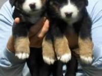 We have 4 beautiful Bernese mountain dog pups ready