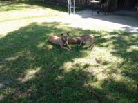 2 BEAUTIFUL BLUE NOSE PIT BULL PUPS, NEED A HOME THEY