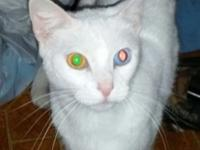 I have a 2 years of age white feline (lady). She is an