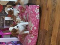 2 beautiful Cavalier King Charles spaniel puppies