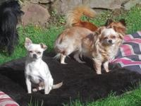 Lucy and Chlo are two stunning and loving chihuahuas,