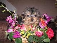 2 beautiful females yorkies with vet papers 100 percent