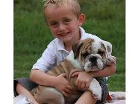AKC English bulldog puppies ready to go home. they are