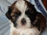 We have 2 beautiful male shih tzu puppies that will be