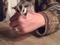 I have 2 beautiful male sugar gliders that need their