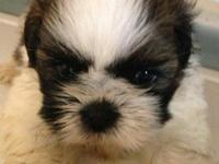These beautiful Shih Tzu puppies are looking for a