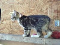 2 adorable manx babies still available; one male riser