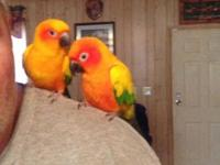I have a pair of Sun Conures for sale. They each have