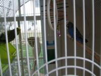 These 2 parakeets/budgies- one green and blue, They are