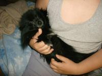 2 stunning male Pomeranians for sale one is a gray and