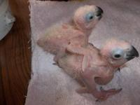 I have 2 beautiful 4 week old Sunday conures for sell a
