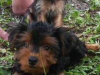 We have two Yorkies looking for their new forever